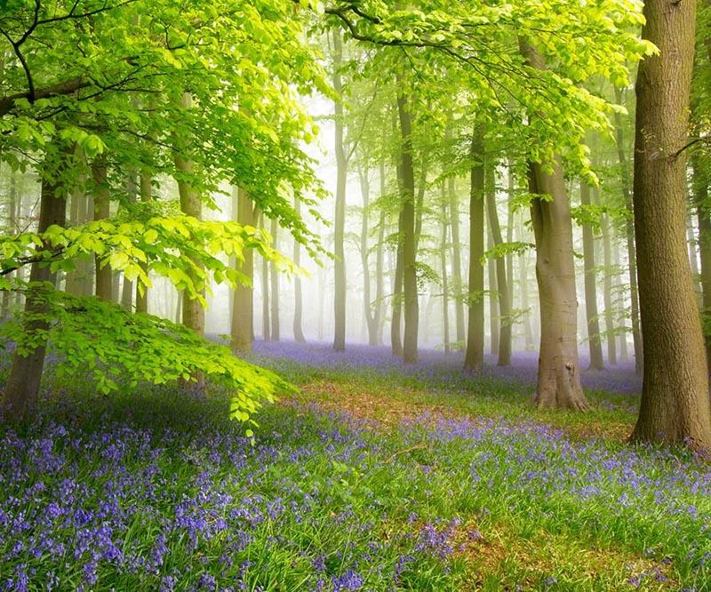 Wald im Frühling mit Blumenteppich mit blauen Blüten